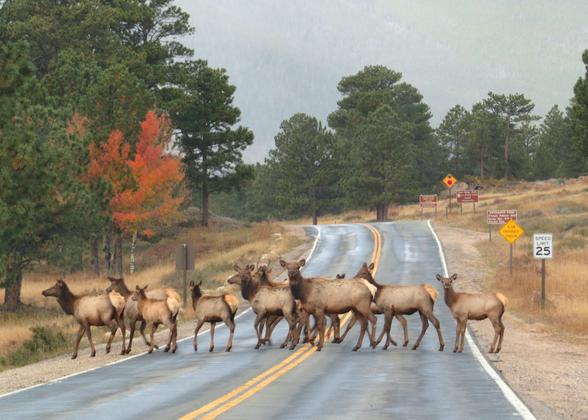Rocky Mountain Elks