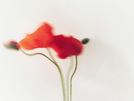 Dancing Poppies 1