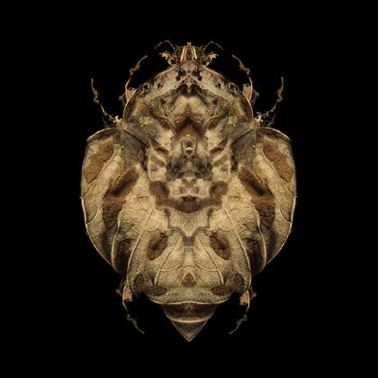 Coleoptera sp.
