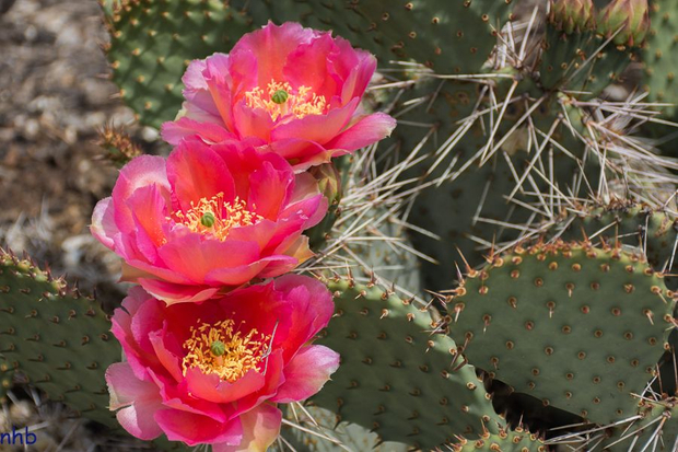 Three Pink Ladies - Prickly Pear Cactus in Boom