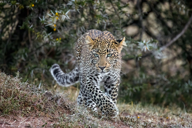 Furaha the adolescent leopard on the prowl ...