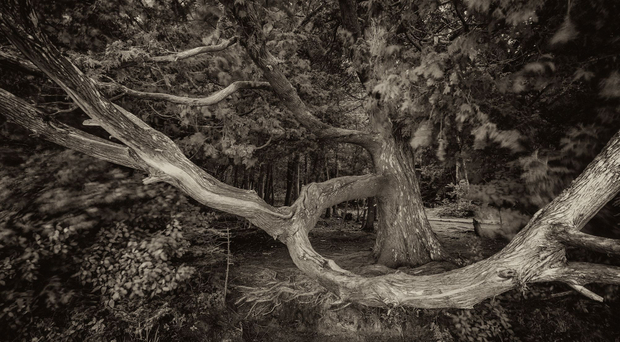 Cedar at Heart Lake