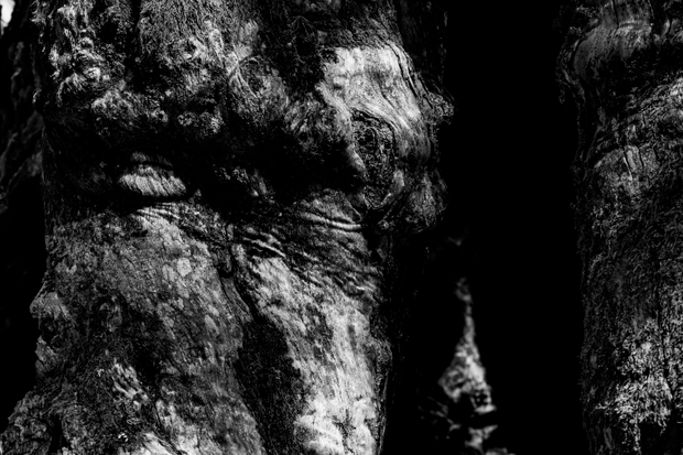 Chestnut Tree/01