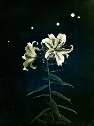 "Radioactive Lilies, Iitate Village, Fukushima. From the series ""Here and There: Tomorrows' Islands,"" July 25, 2011"