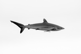 Silkie Shark