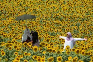 Portraiture in sunflowers
