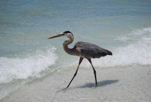 The beach bird. Florida. Gulf of Mexico.
