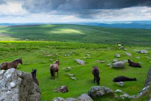 Wild Horses of Dartmoor
