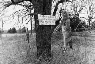 COYOTES AND RELIGIOUS SIGN, CROSS TIMBERS, MISSOURI