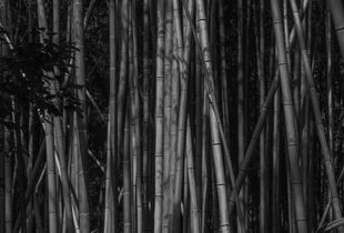 Bamboo Grove - Kyoto, Japan