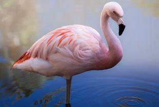 Flamingo Solo