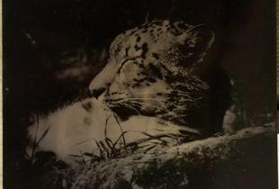 Snow Leopard- Endangered Species Project