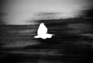 White heron at night. Many of the ghost sightings are actually mess with the birds.