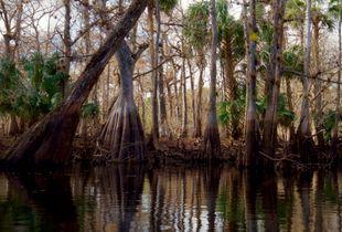 Deep Creek Cypress