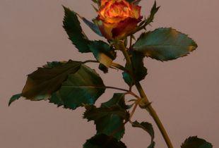 Untitled Plant Portrait (Rose)