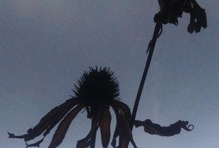 winterbloom - echinacia  (double)