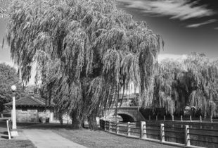 Willows on the Rideau Canal