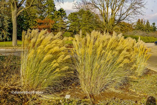 Wind Blown Golden Wheat