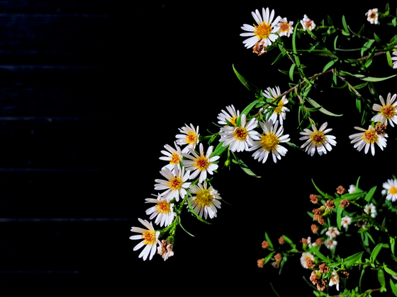 white asters and black garage.