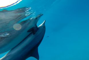 Dolphin Love in aquatic reflection