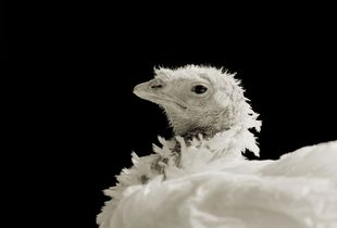 Ash, Domestic White Turkey, Age 8, II © Isa Leshko
