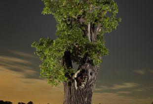 Windsor Great Oak 01                               © Jean-Luc Brouard
