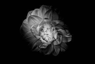 Fleur Noir I