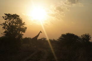 A silhouette of an endangered Rothschild's giraffe against the morning sun at the Murchison Falls National Park in Uganda.