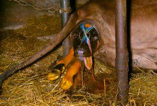 Birth of a Friesian calf