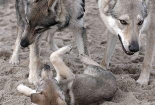 Wolfdogs fun