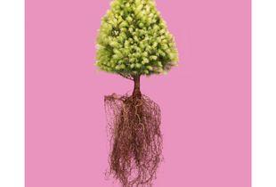 Alberta Spruce 'Daisy's White', Picea glauca.  © William Rugen