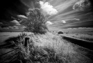 Pevensey Levels, single tree, Sussex, UK