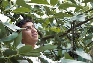 Young Avocado picker