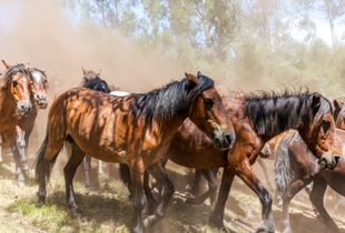 Descend with wild horses from the mountain to the village to shave their mane and tail.