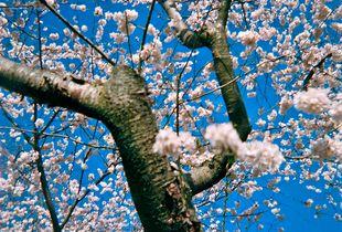 2017 Homeland Blossoms