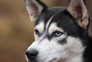 Feature on Mushing Holland sleddog competition