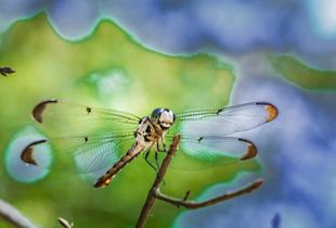 Laugh of the Dragonfly
