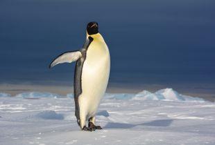 Emperor penguin Showing Off