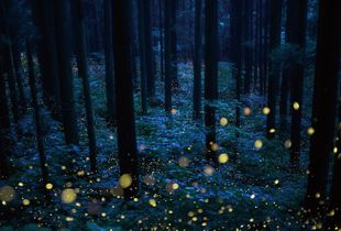 Deep forest fairies'
