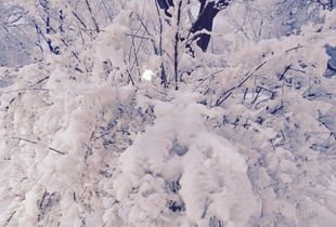 Branches heavy with snow