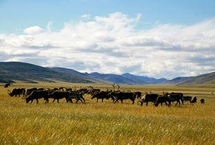 Reindeer pasture. Bulunskiy ulus. August, 2008 © Evgenia Arbugaeva
