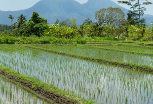 Rice paddy field near Sedimen, Bali, Indonesia