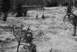 Agave grove, near Be'eri.