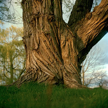 Tree #13 from Willow Series