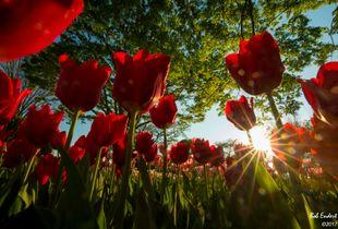 Tulips in Japan