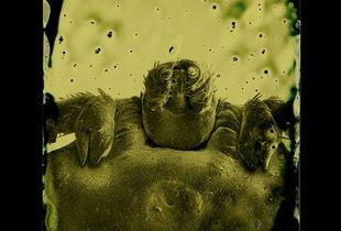 Dermacentor andersoni © Marcus DeSieno