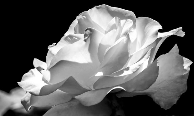 Roseglow still life.
