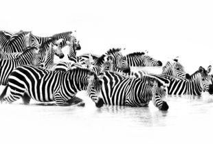 Zebra's at the watering hole 1