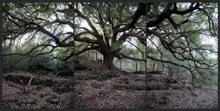 Quercus Ilex. about 500 yrs.
