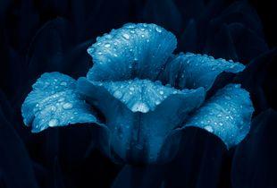 Cyano Tulip